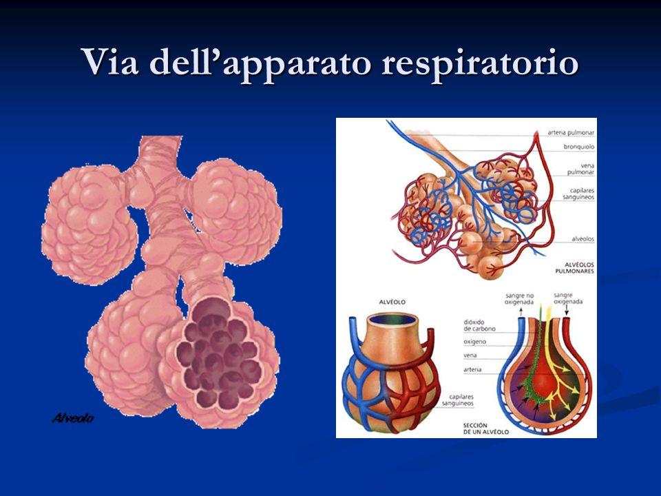 Via dell'apparato respiratorio