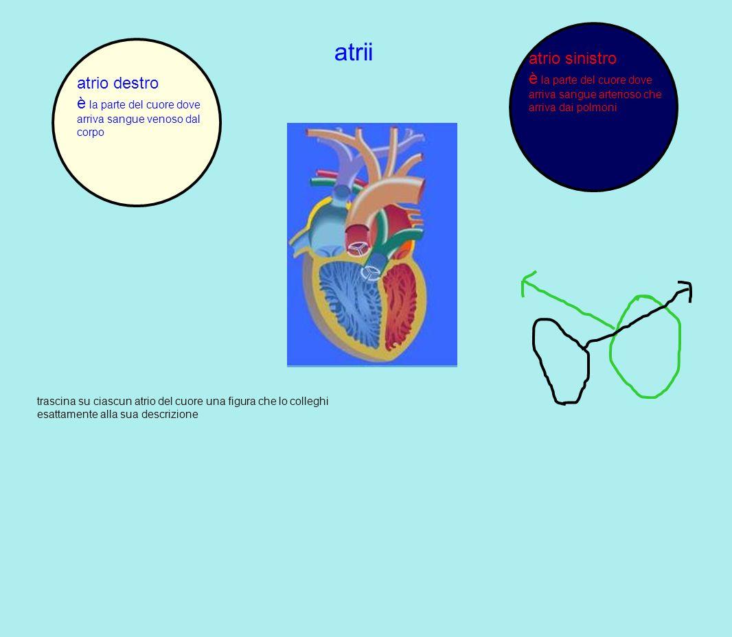 atrio sinistro è la parte del cuore dove arriva sangue arterioso che arriva dai polmoni. atrii. atrio destro.