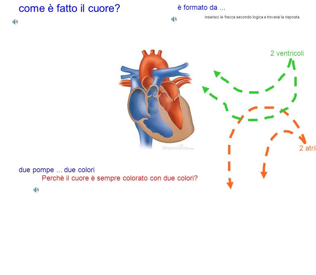 come è fatto il cuore è formato da ... 2 ventricoli 2 atrii