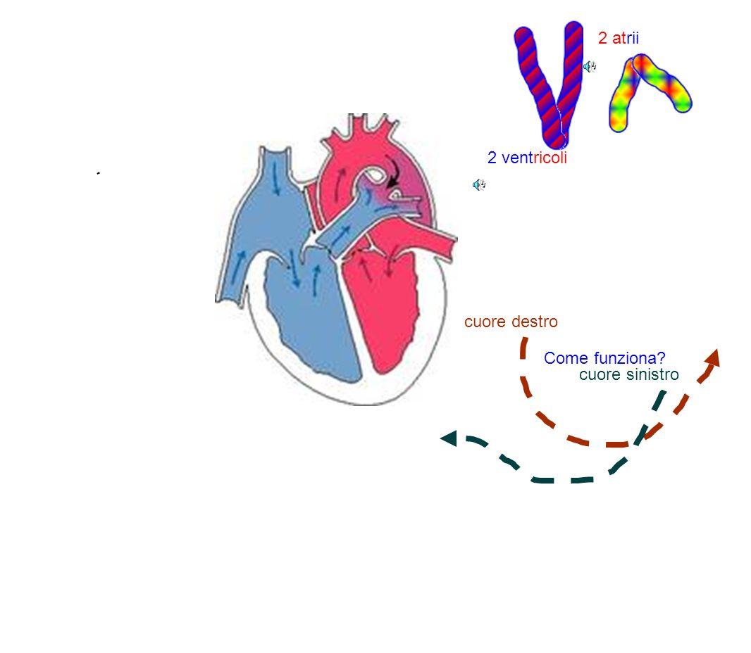 2 ventricoli 2 atrii cuore destro Come funziona cuore sinistro