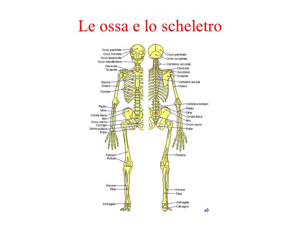 Le ossa e lo scheletro