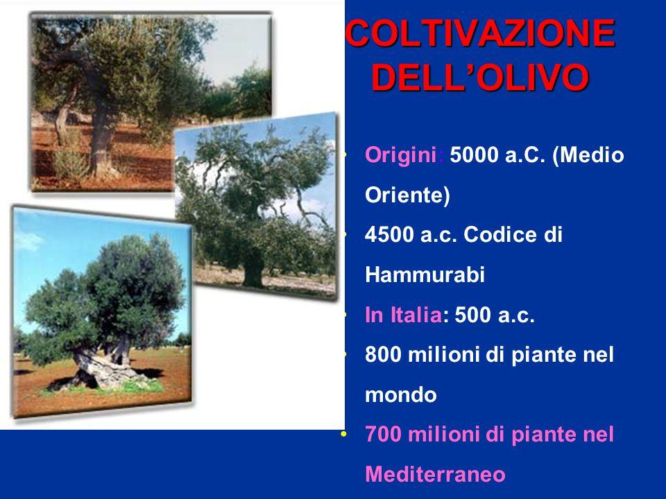 COLTIVAZIONE DELL'OLIVO