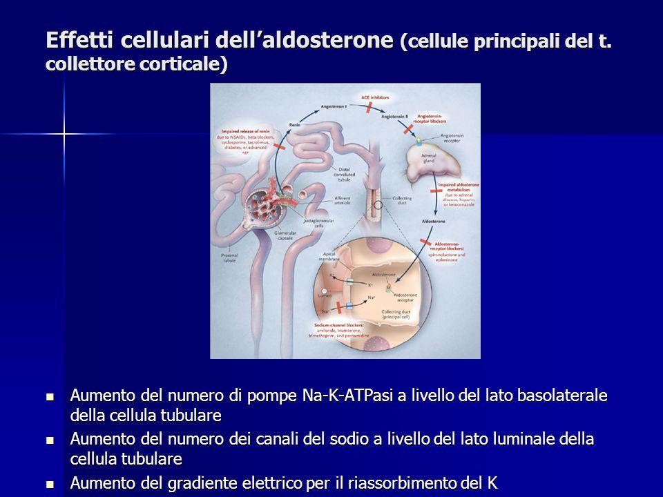 Effetti cellulari dell'aldosterone (cellule principali del t