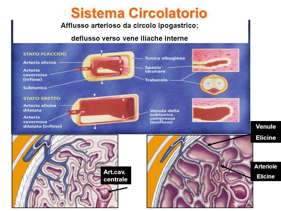 Sistema Circolatorio Afflusso arterioso da circolo ipogastrico;