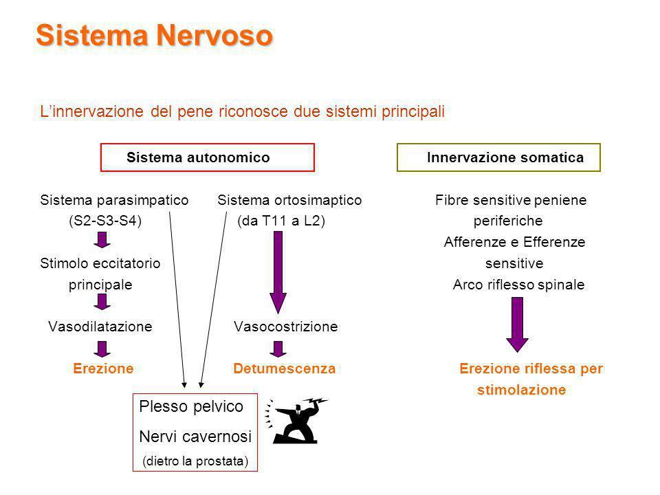 Sistema Nervoso L'innervazione del pene riconosce due sistemi principali.