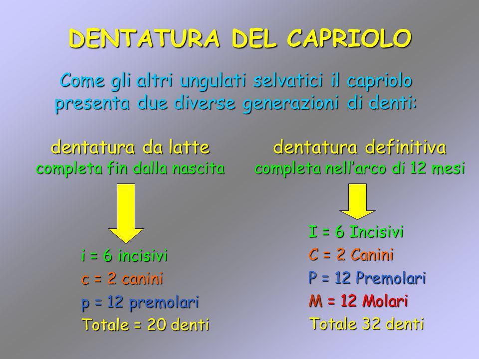 DENTATURA DEL CAPRIOLO