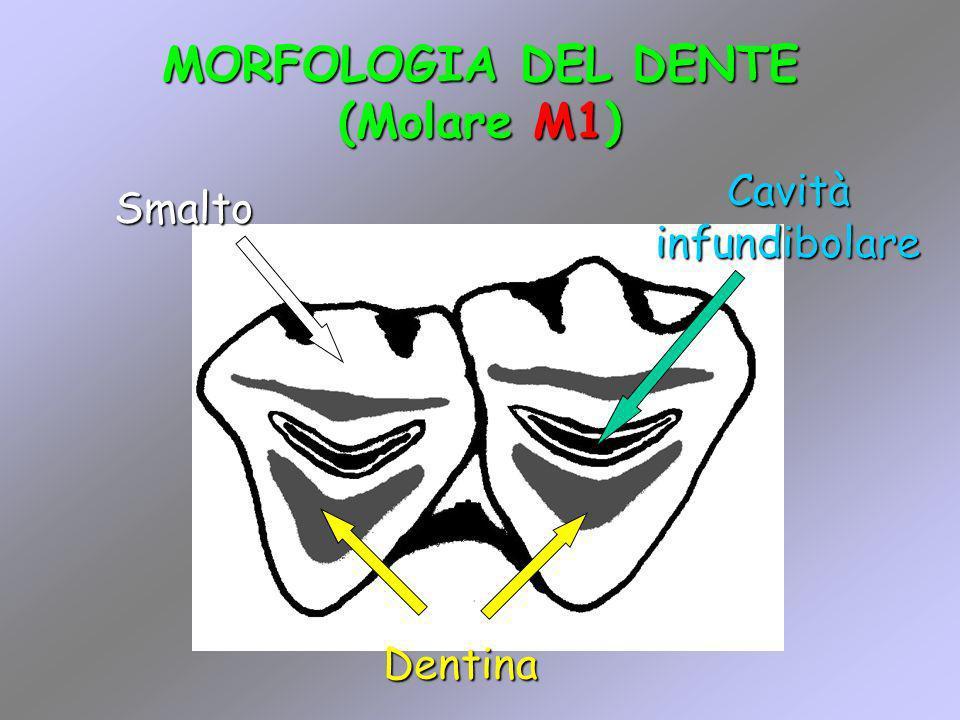 MORFOLOGIA DEL DENTE (Molare M1)