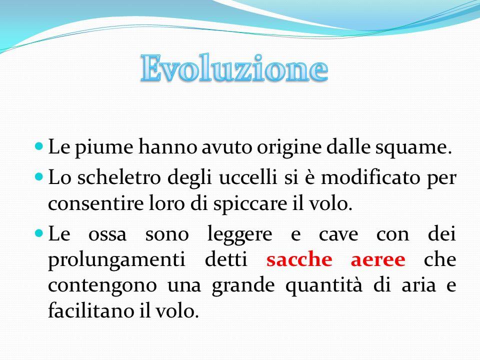 Evoluzione Le piume hanno avuto origine dalle squame.