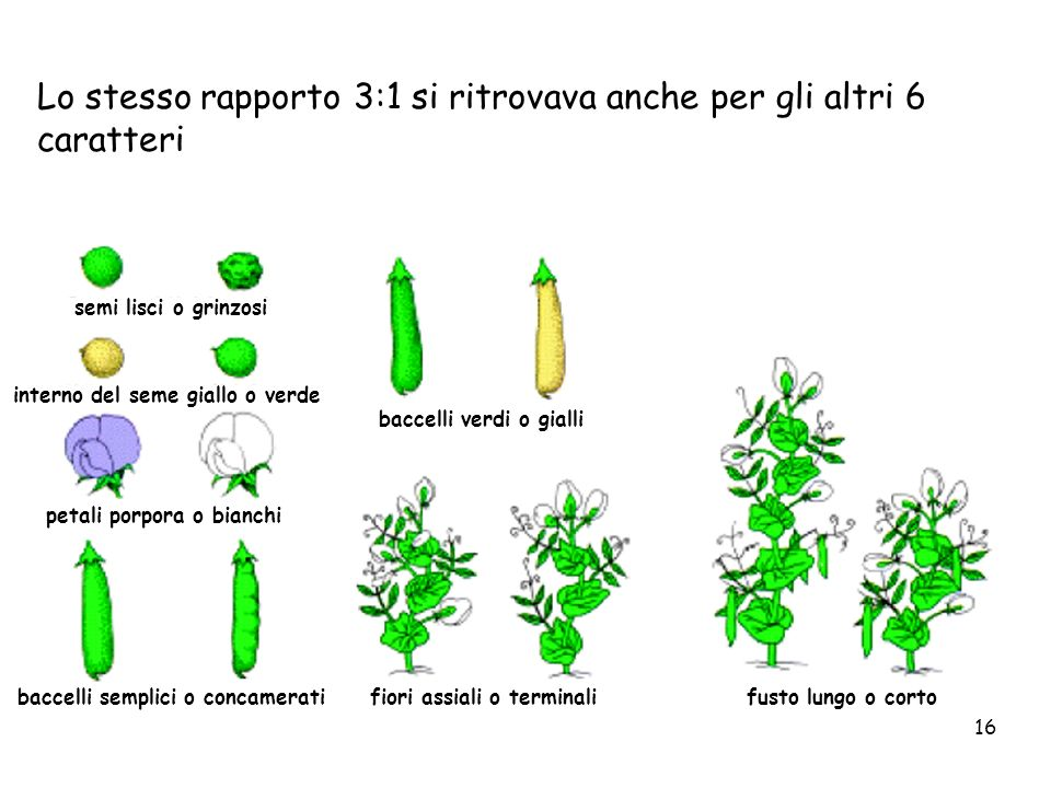 interno del seme giallo o verde baccelli semplici o concamerati