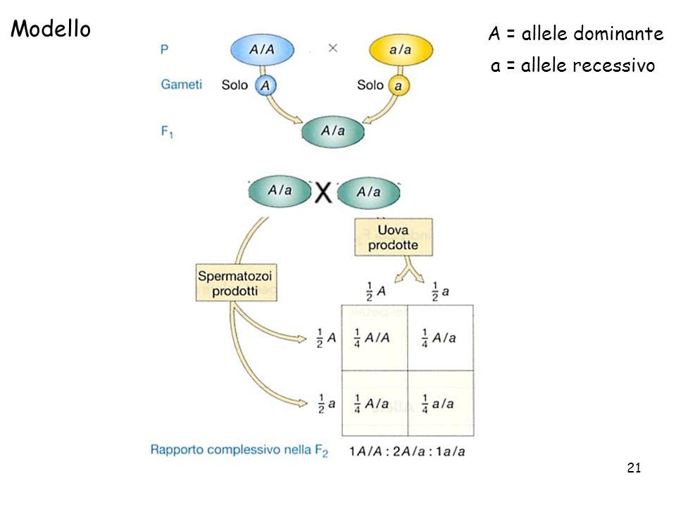 Modello A = allele dominante a = allele recessivo