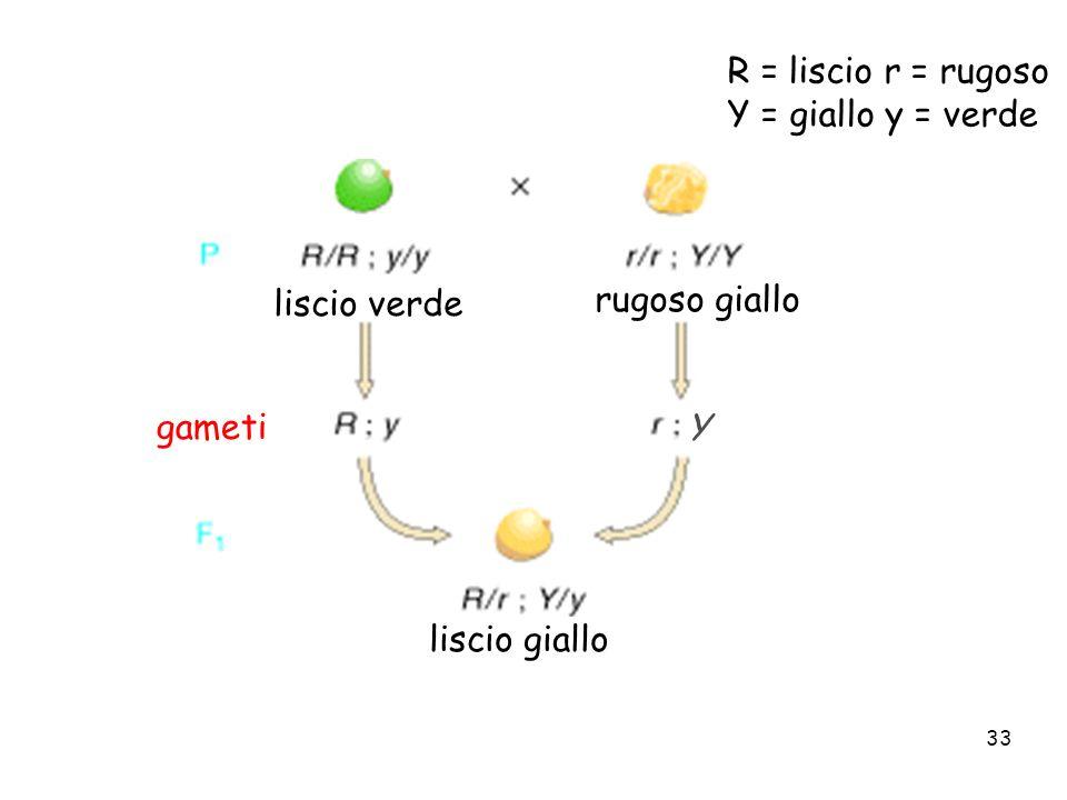 R = liscio r = rugoso Y = giallo y = verde liscio verde rugoso giallo liscio giallo gameti Y