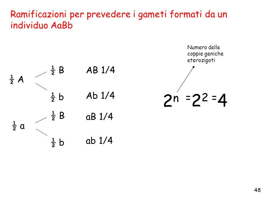 Ramificazioni per prevedere i gameti formati da un individuo AaBb