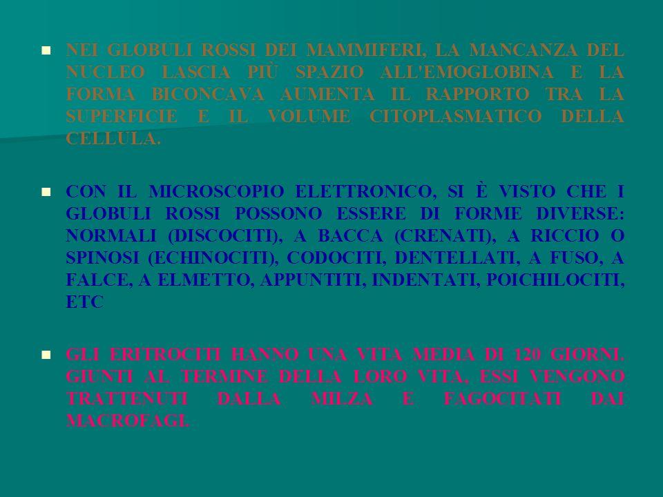 NEI GLOBULI ROSSI DEI MAMMIFERI, LA MANCANZA DEL NUCLEO LASCIA PIÙ SPAZIO ALL EMOGLOBINA E LA FORMA BICONCAVA AUMENTA IL RAPPORTO TRA LA SUPERFICIE E IL VOLUME CITOPLASMATICO DELLA CELLULA.