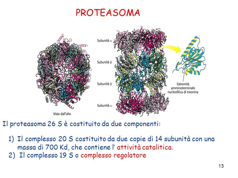 PROTEASOMA Il proteasoma 26 S è costituito da due componenti: