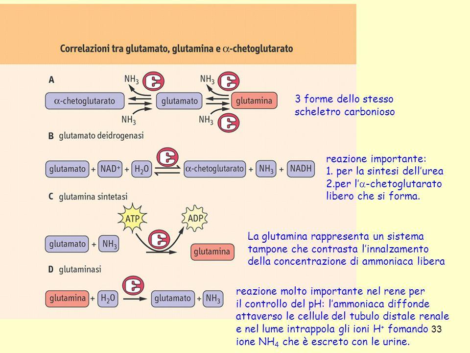 3 forme dello stesso scheletro carbonioso. reazione importante: 1. per la sintesi dell'urea. 2.per l'a-chetoglutarato.