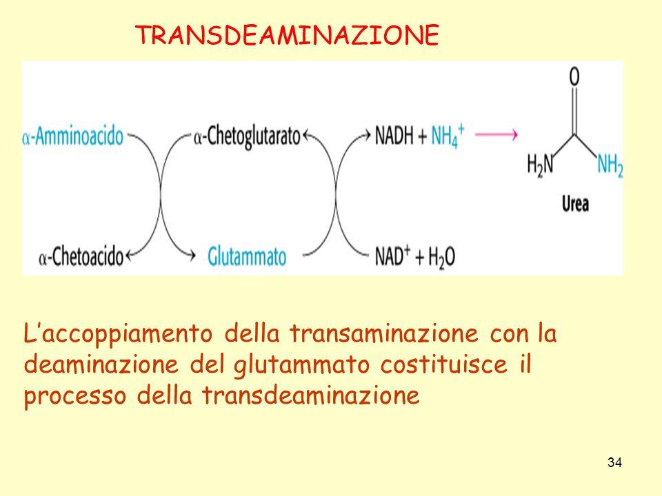 L'accoppiamento della transaminazione con la deaminazione del glutammato costituisce il processo della transdeaminazione