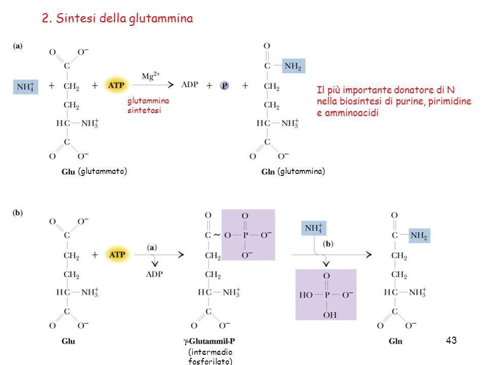 2. Sintesi della glutammina