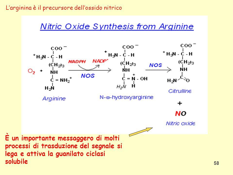 È un importante messaggero di molti processi di trasduzione del segnale si lega e attiva la guanilato ciclasi solubile