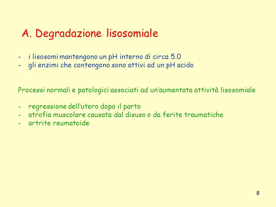 A. Degradazione lisosomiale