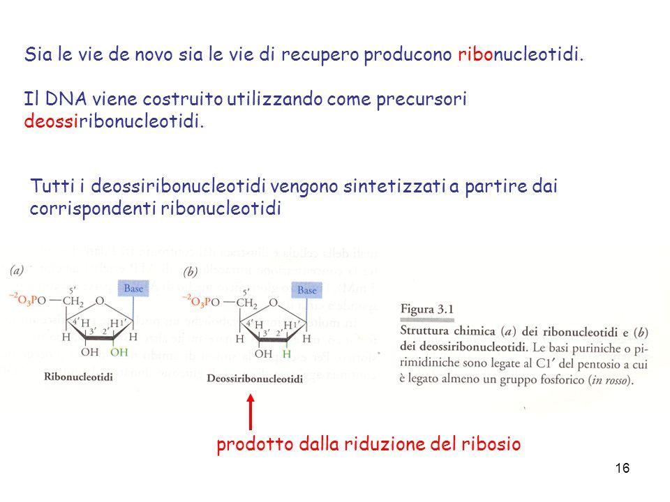 Sia le vie de novo sia le vie di recupero producono ribonucleotidi.