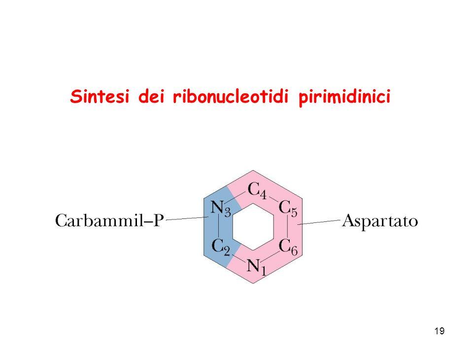Sintesi dei ribonucleotidi pirimidinici