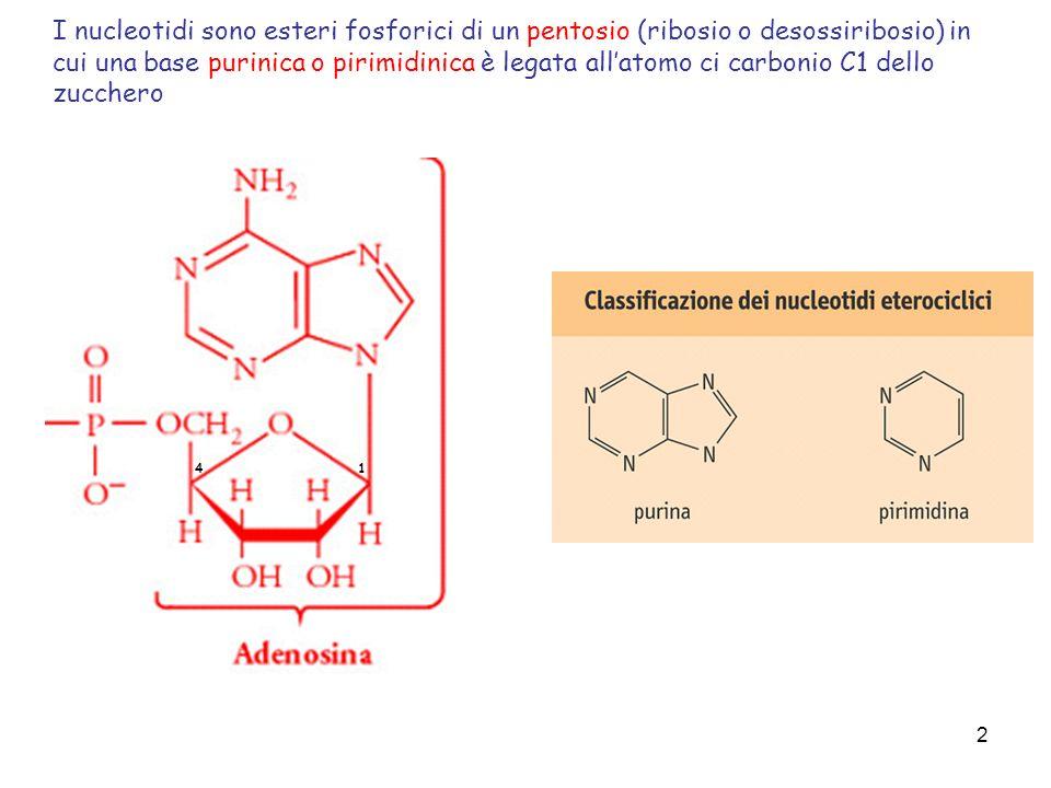 I nucleotidi sono esteri fosforici di un pentosio (ribosio o desossiribosio) in cui una base purinica o pirimidinica è legata all'atomo ci carbonio C1 dello zucchero
