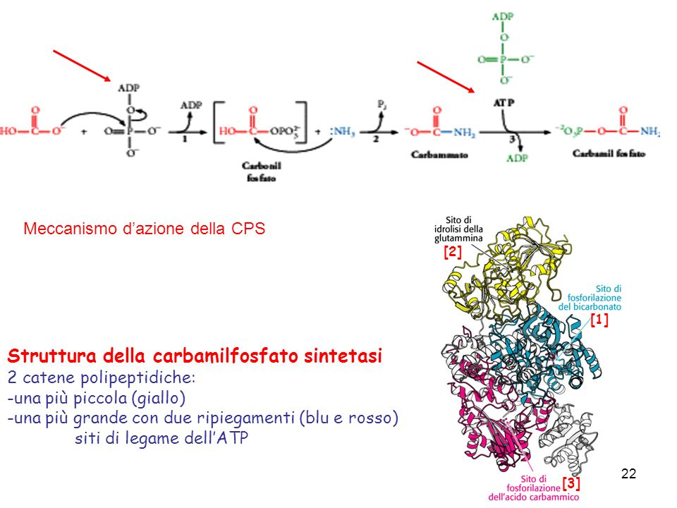 Struttura della carbamilfosfato sintetasi