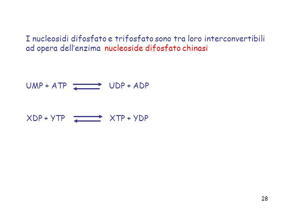 I nucleosidi difosfato e trifosfato sono tra loro interconvertibili