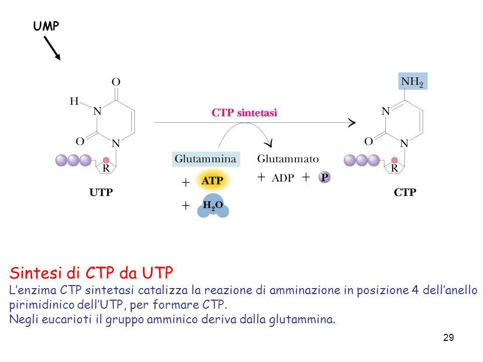 Sintesi di CTP da UTP UMP