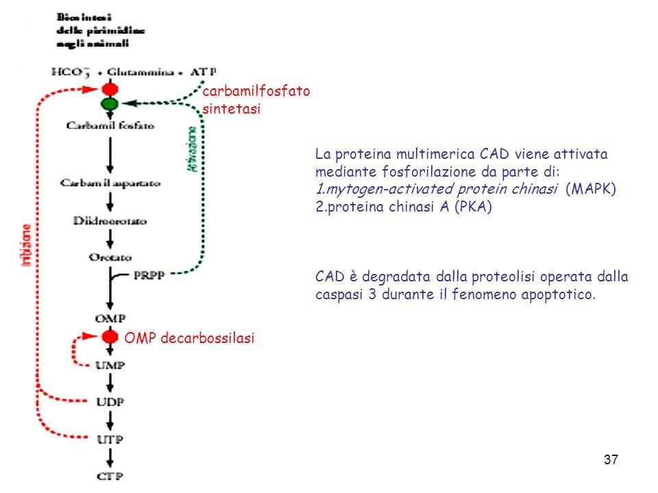 carbamilfosfato sintetasi. La proteina multimerica CAD viene attivata mediante fosforilazione da parte di: