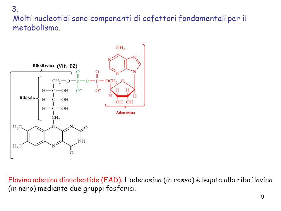 3. Molti nucleotidi sono componenti di cofattori fondamentali per il metabolismo. (Vit. B2)