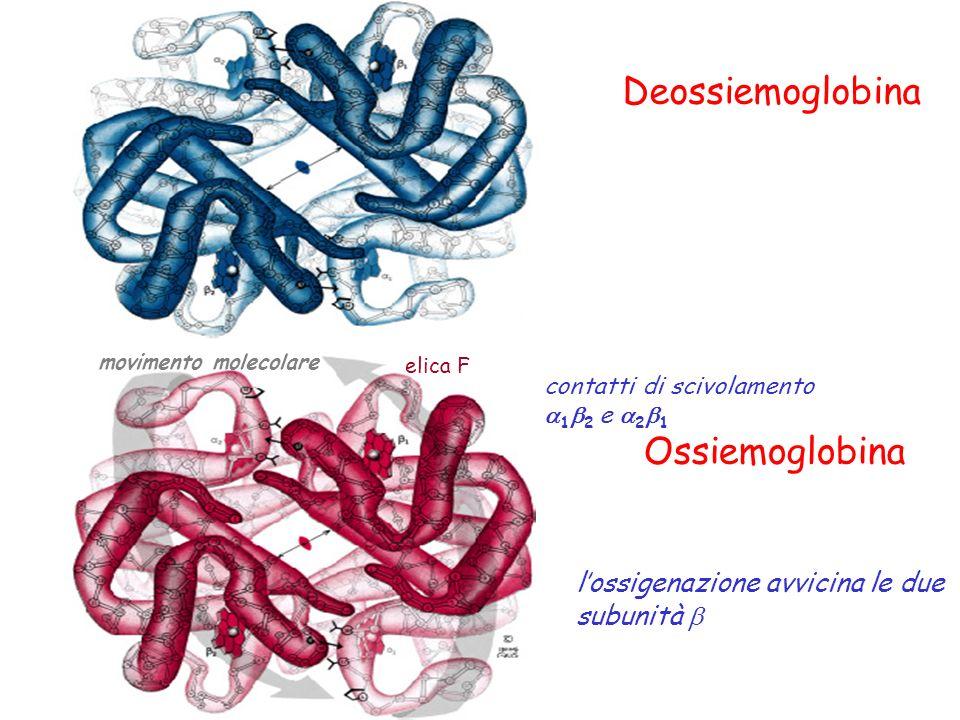 Deossiemoglobina Ossiemoglobina l'ossigenazione avvicina le due