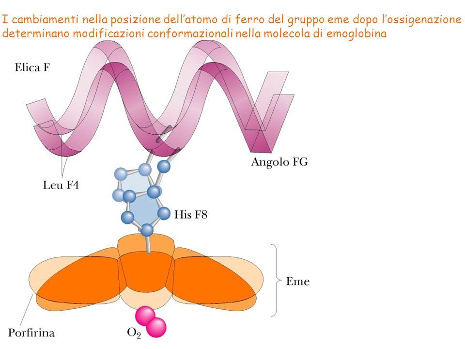 I cambiamenti nella posizione dell'atomo di ferro del gruppo eme dopo l'ossigenazione