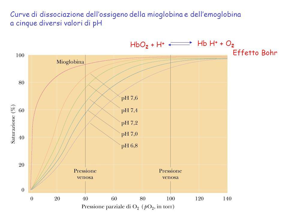 Curve di dissociazione dell'ossigeno della mioglobina e dell'emoglobina