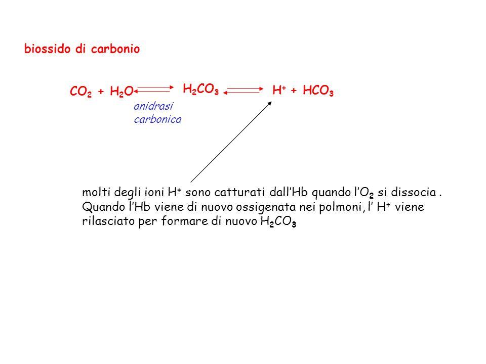molti degli ioni H+ sono catturati dall'Hb quando l'O2 si dissocia .