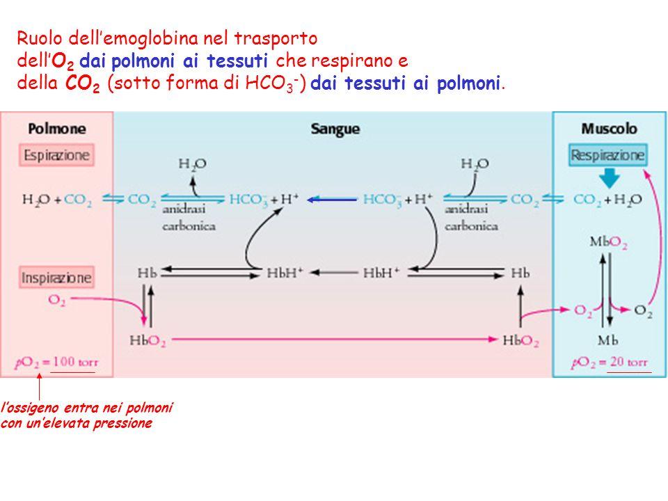 Ruolo dell'emoglobina nel trasporto