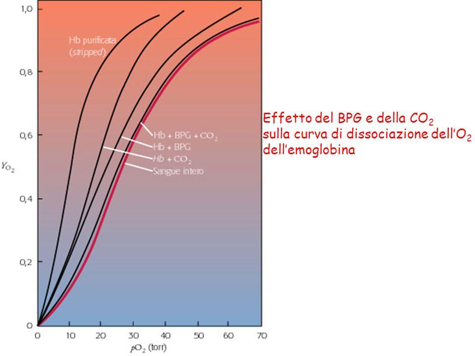 Effetto del BPG e della CO2