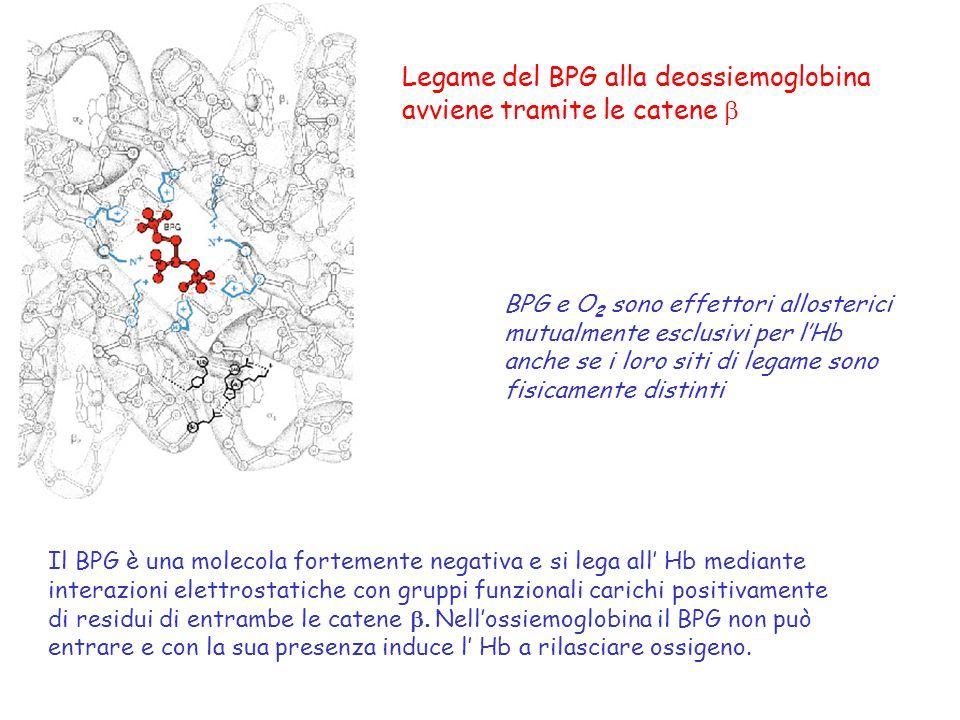 Legame del BPG alla deossiemoglobina avviene tramite le catene b