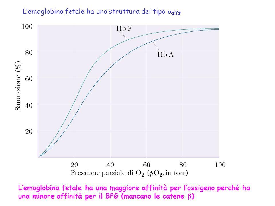 L'emoglobina fetale ha una struttura del tipo a2g2