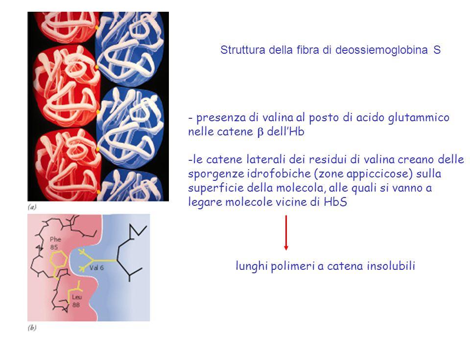 Struttura della fibra di deossiemoglobina S