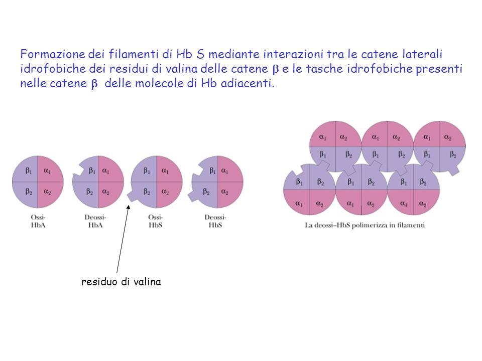 nelle catene b delle molecole di Hb adiacenti.