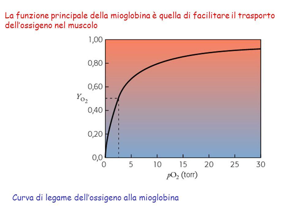 La funzione principale della mioglobina è quella di facilitare il trasporto