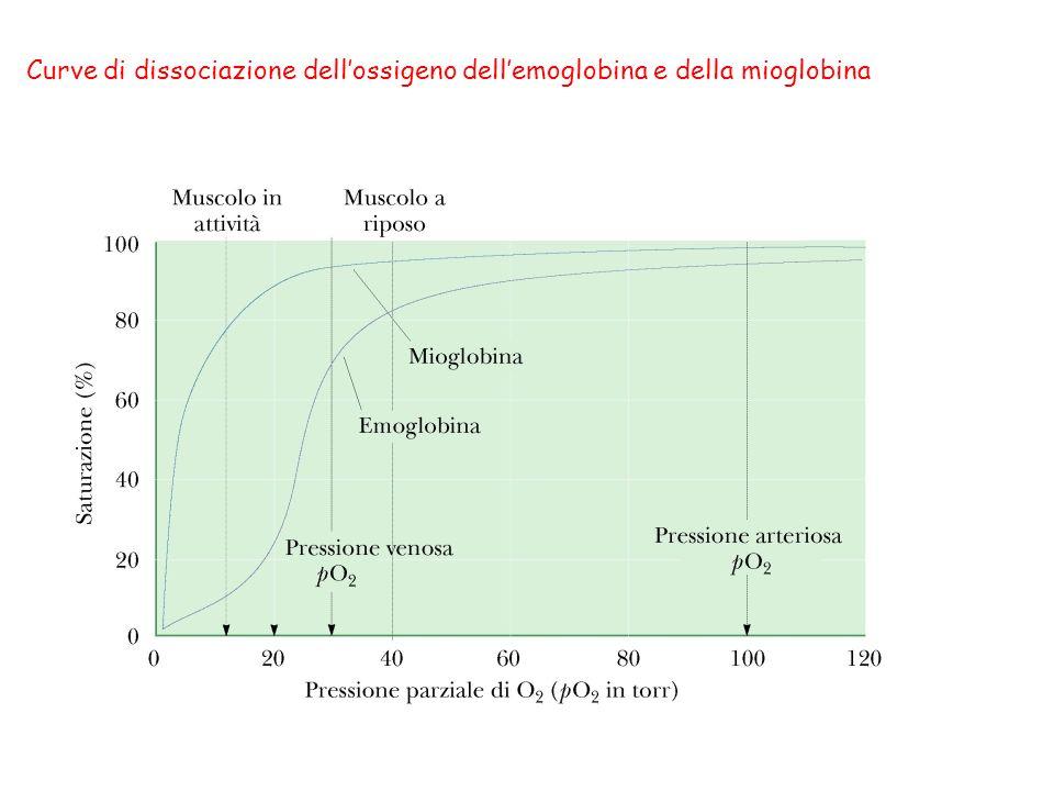 Curve di dissociazione dell'ossigeno dell'emoglobina e della mioglobina