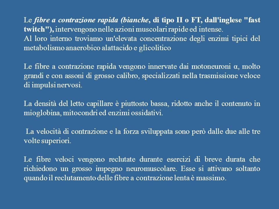 Le fibre a contrazione rapida (bianche, di tipo II o FT, dall inglese fast twitch ), intervengono nelle azioni muscolari rapide ed intense.