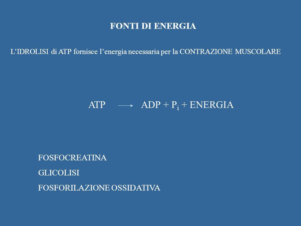 ATP ADP + Pi + ENERGIA FONTI DI ENERGIA FOSFOCREATINA GLICOLISI