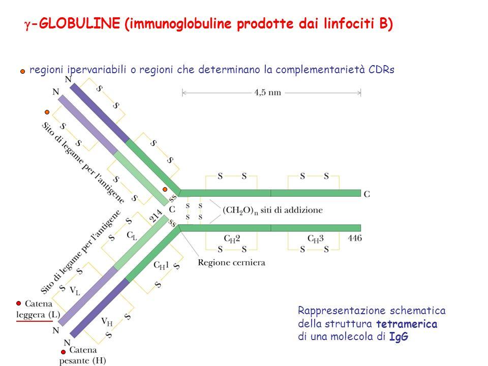 g-GLOBULINE (immunoglobuline prodotte dai linfociti B)