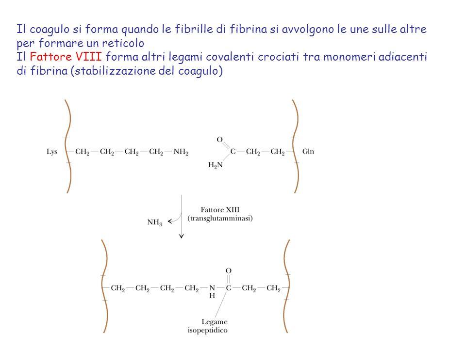 Il coagulo si forma quando le fibrille di fibrina si avvolgono le une sulle altre