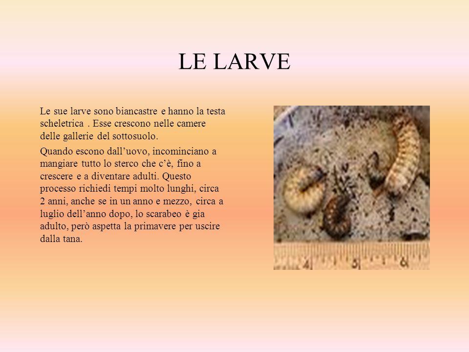 LE LARVE Le sue larve sono biancastre e hanno la testa scheletrica . Esse crescono nelle camere delle gallerie del sottosuolo.