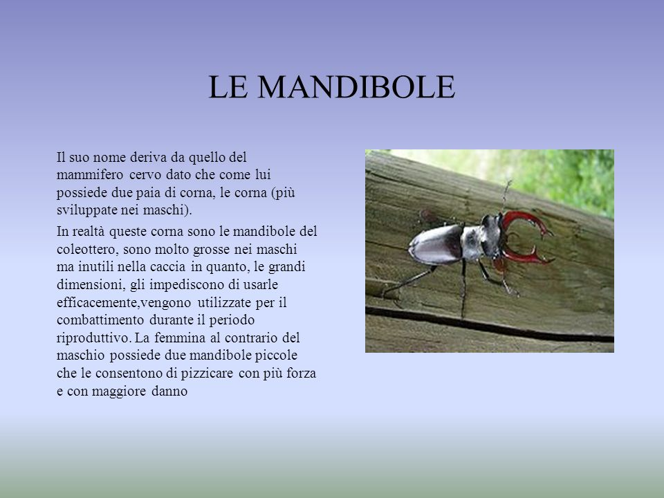 LE MANDIBOLEIl suo nome deriva da quello del mammifero cervo dato che come lui possiede due paia di corna, le corna (più sviluppate nei maschi).