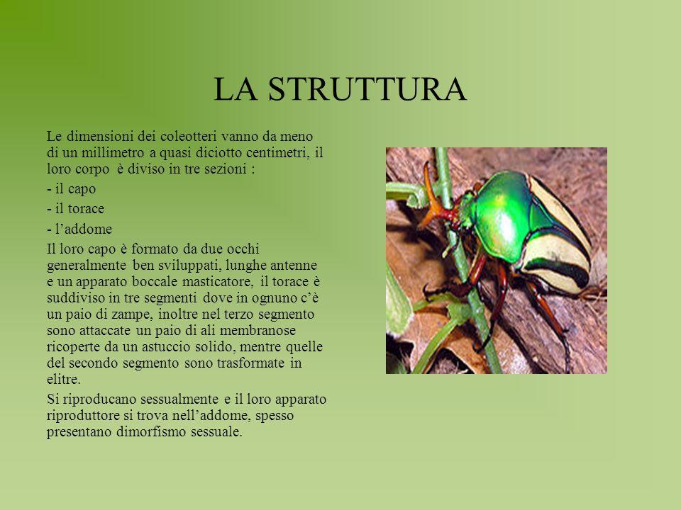 LA STRUTTURA Le dimensioni dei coleotteri vanno da meno di un millimetro a quasi diciotto centimetri, il loro corpo è diviso in tre sezioni :
